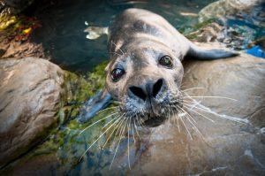 Atlantic Harbor Seals